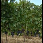 September 6, 2007 - Tuscany grapes