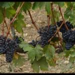 September 16, 2007 - Montalcino grapes