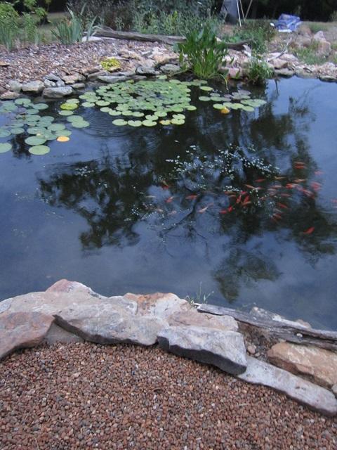koi in the pond