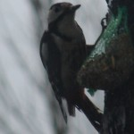 March 14, 2014 - a new woodpecker friend