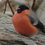 male Bullfinch/Dompapp