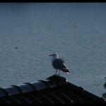 9:47 pm on July 1, 2014 - seagulls in Lysekloster, Norway